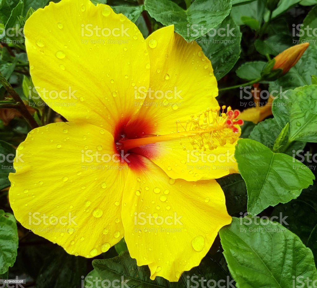 Big Yellow Hibiscus Flower Close Up Stock Photo More Pictures Of