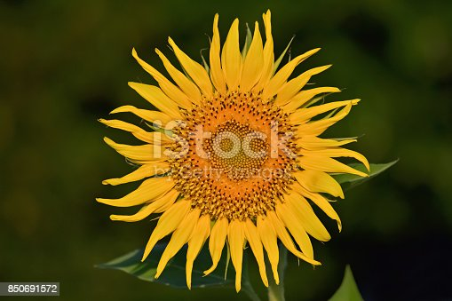 Closeup of a big yellow sunflower on dark background