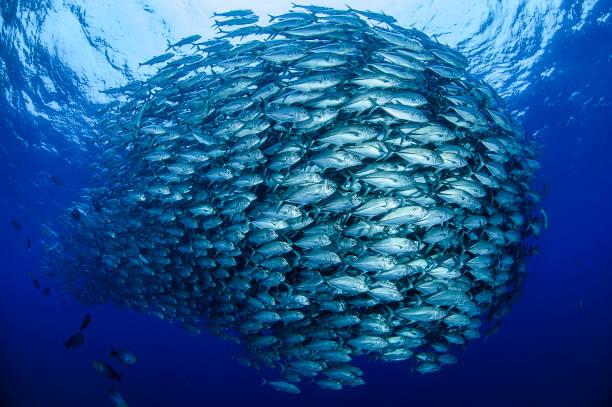 bigeye trevally jack tornado baitball in aguni, japan - under the sea fish foto e immagini stock