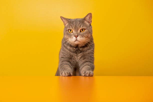 Big-eyed naughty obese cat behind the desk with red hat. Grey color British sort hair cat. stock photo