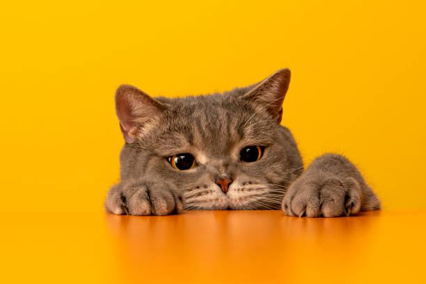 Bigeyed naughty obese cat behind the desk with red hat grey color picture id1199279669?b=1&k=6&m=1199279669&s=612x612&w=0&h=v1g2w3gmetbz5jv  bjmzt2ei glwfxmmixitxmi8io=
