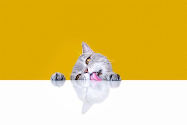 Bigeyed naughty obese cat licking the table picture id1156404641?b=1&k=6&m=1156404641&s=612x612&w=0&h=stizdbwpsfkwn8rnxyotjgyh6z4dl9wt8wfohdp289y=