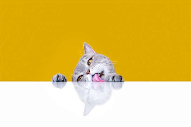 Big-eyed naughty obese cat licking the table stock photo