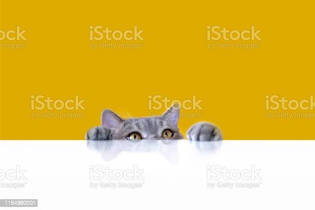 Bigeyed naughty obese cat looking at the target british sort hair cat picture id1154980201?b=1&k=6&m=1154980201&s=612x612&h=fg3absyico9lex0xpn7h4qw2owkxxtim2k4xqkdlf3i=