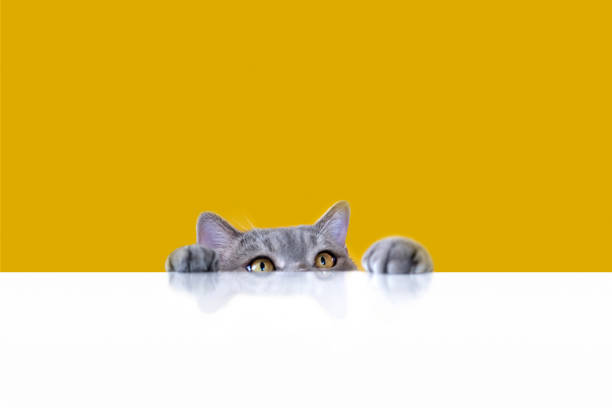Big-eyed naughty obese cat looking at the target. British sort hair cat. stock photo