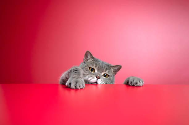 großäugige freche fettleibige katze, die auf das ziel schaut. britische sortierung haarkatze - sprüche für die liebe stock-fotos und bilder
