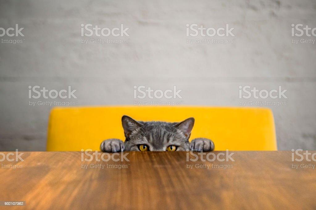Olhos grandes gato obeso impertinente a olhar para o alvo. Gato de cabelo tipo britânico. - foto de acervo