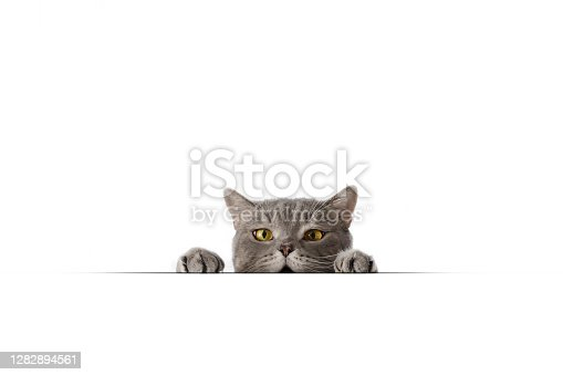Big-headed cat (Felis catus ) British shorthair cat Taken with Canon EOS R5