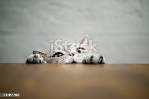 istock Big-eyed naughty obese cat showing paws on wooden table 626958754
