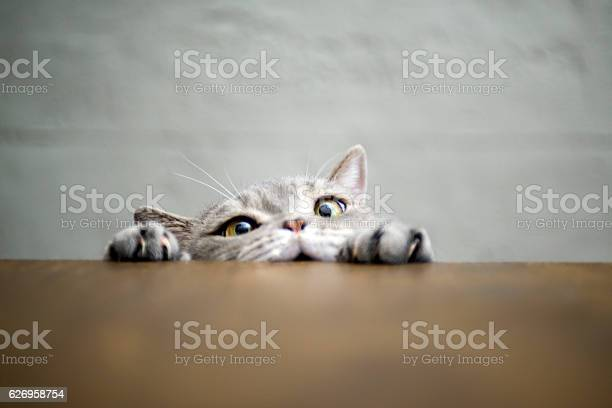 Bigeyed naughty obese cat showing paws on wooden table picture id626958754?b=1&k=6&m=626958754&s=612x612&h=fo2ai2aiiprw wvf5poaj5iiythlrhidksr9gbt2wni=