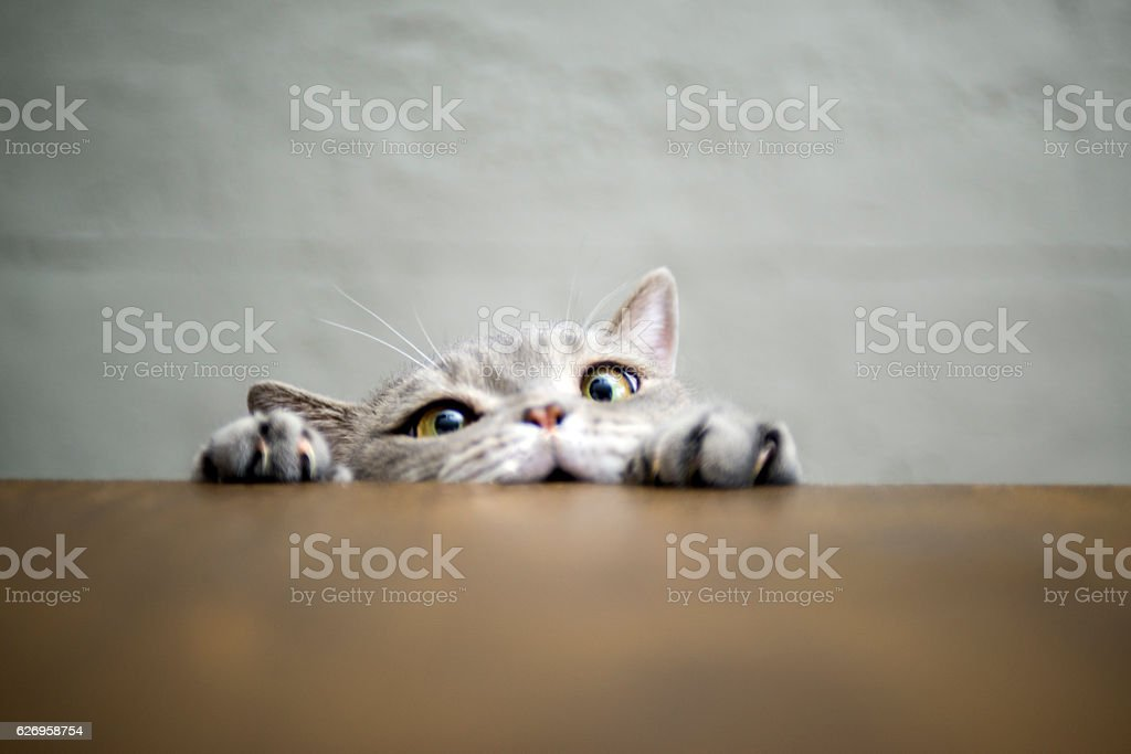 Big-eyed naughty obese cat showing paws on wooden table - foto de stock