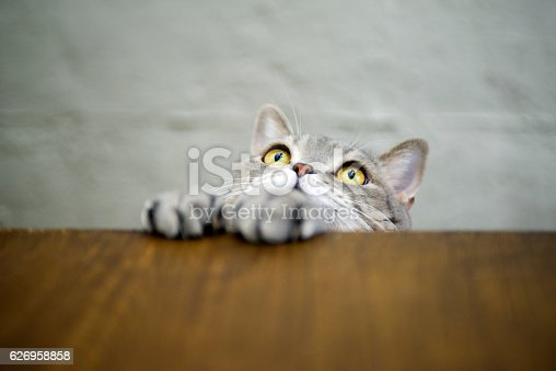 626958754 istock photo Big-eyed naughty obese cat showing paws on wooden table 626958858