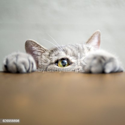 626958754 istock photo Big-eyed naughty obese cat showing paws on wooden table 626958898