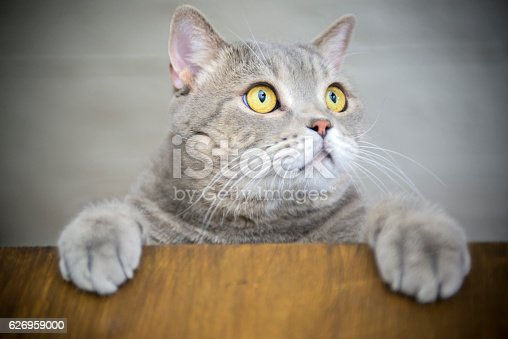 626958754 istock photo Big-eyed naughty obese cat showing paws on wooden table 626959000