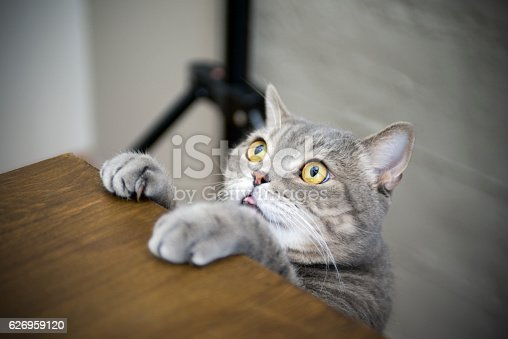 626958754 istock photo Big-eyed naughty obese cat showing paws on wooden table 626959120