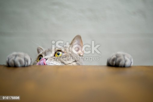 626958754 istock photo Big-eyed naughty obese cat showing paws on wooden table 916176698