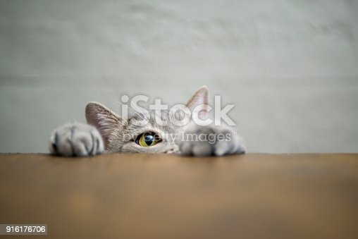 626958754 istock photo Big-eyed naughty obese cat showing paws on wooden table 916176706