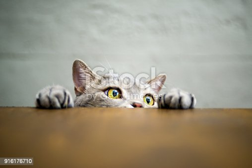 626958754 istock photo Big-eyed naughty obese cat showing paws on wooden table 916176710