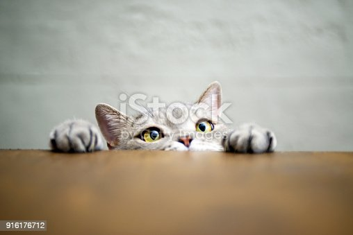626958754 istock photo Big-eyed naughty obese cat showing paws on wooden table 916176712