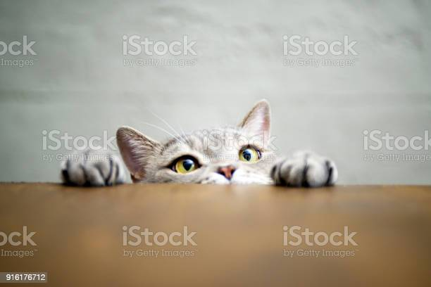 Bigeyed naughty obese cat showing paws on wooden table picture id916176712?b=1&k=6&m=916176712&s=612x612&h=bxp56ngw i7hoe ybge53cadqkvokzlxhuypllr6qfw=