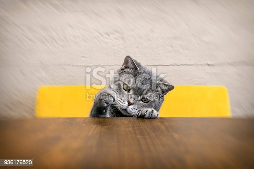 626958754 istock photo Big-eyed naughty obese cat showing paws on wooden table 936176520