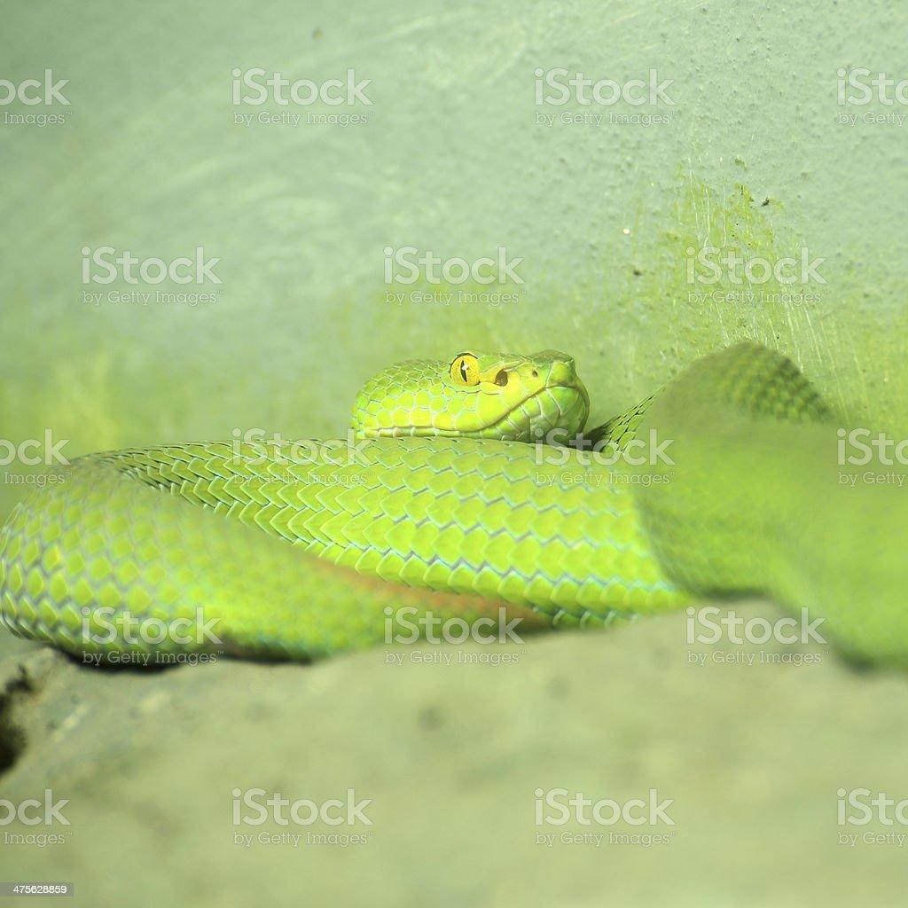 Big-eyed Pit Viper stock photo