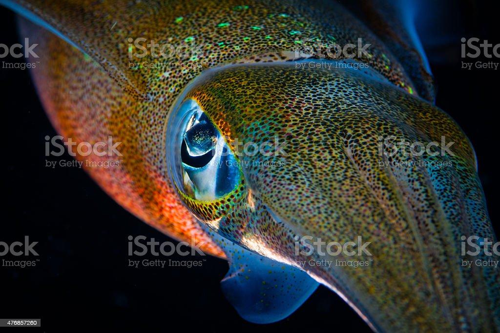 Bigfin Reef Squid, eye detail stock photo