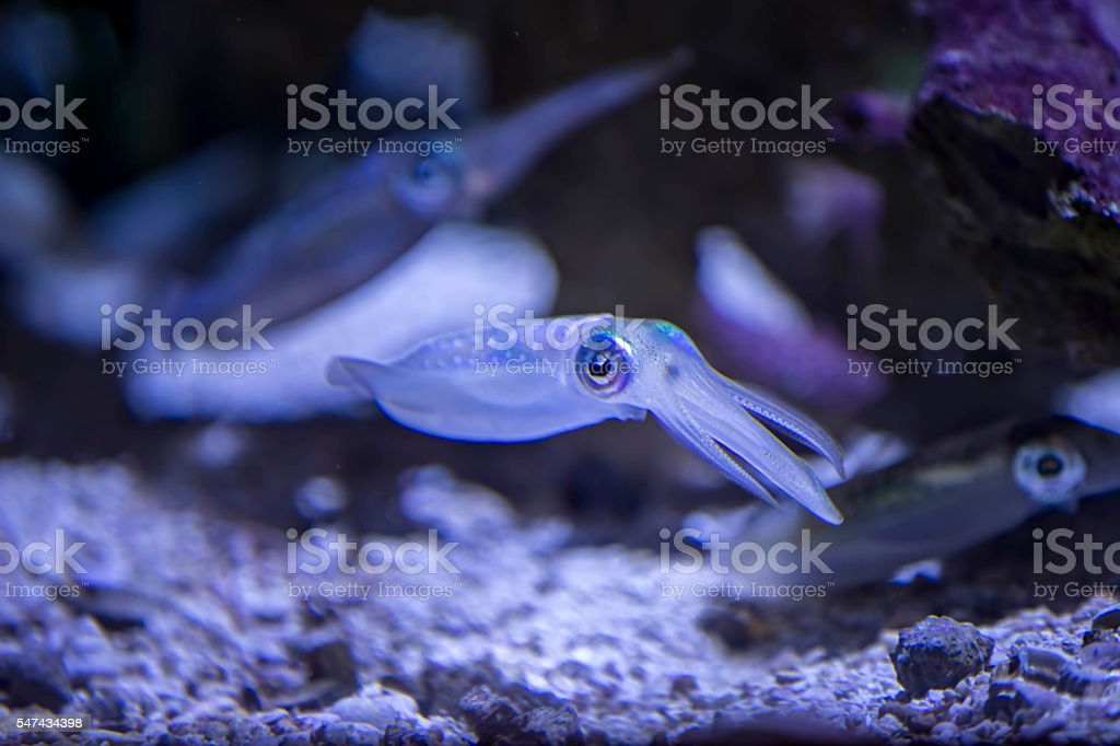 bigfin reef squid Fish stock photo