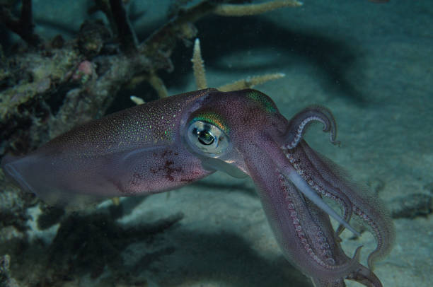 bigfin reef squid, lady elliot island, great barrier reef, australia - great barrier reef marine park stock pictures, royalty-free photos & images