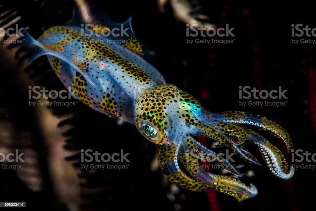 bigfin reef squid stock photo
