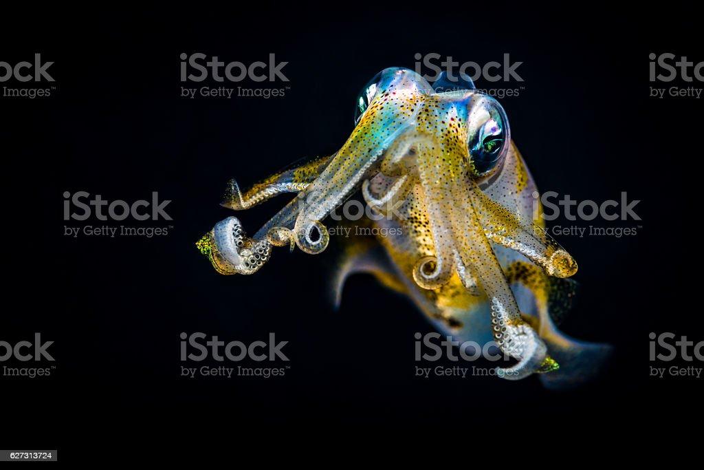 Bigfin reef squid (Sepioteuthis lessoniana) staring, defending itself stock photo