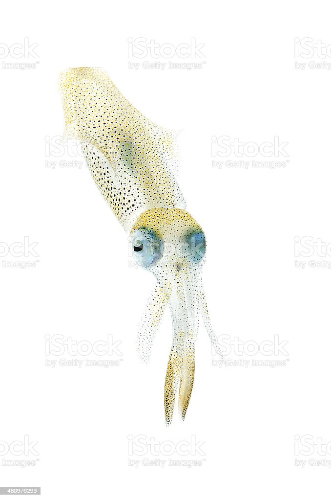 Bigfin Reef Squid-Sepioteuthis lessoniana stock photo