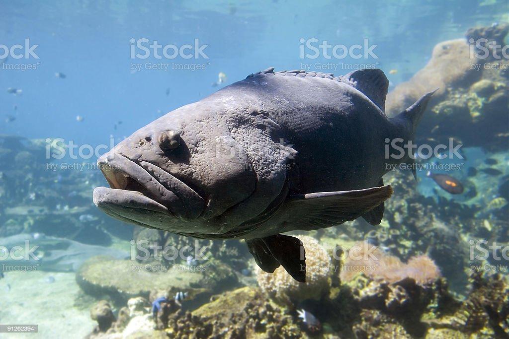 Bigfish royalty-free stock photo