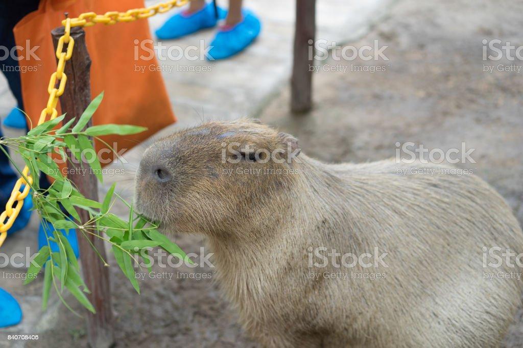 Biggest mouse, Capybara, Hydrochoerus hydrochaeris stock photo