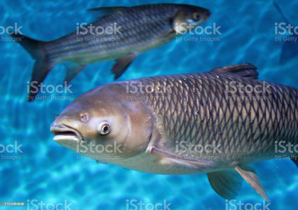 Ecologische (Hypophthalmichthys nobilis) foto