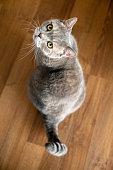 Big-headed cat (Felis catus ) British shorthair cat\nTaken with Canon EOS R5
