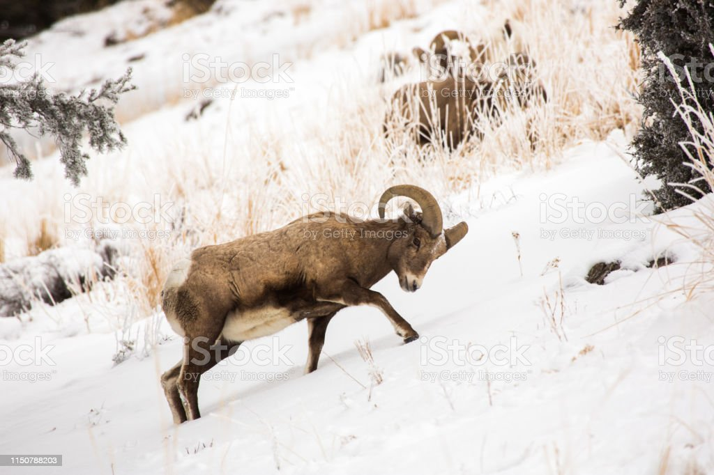 Bighorn digs for food, Yellowstone - Royalty-free Bighorn Sheep Stock Photo