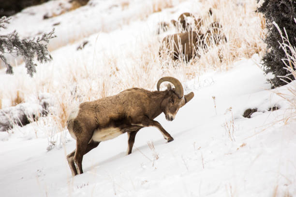 Bighorn digs for food, Yellowstone stock photo