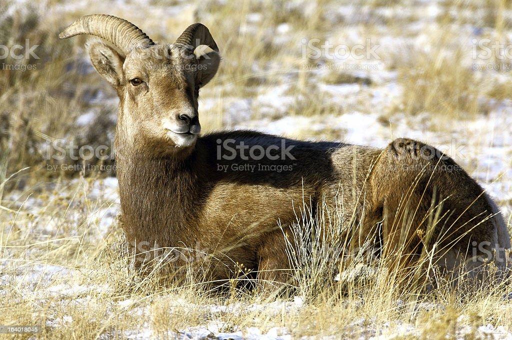 Bighorn Ewe Looking at Camera royalty-free stock photo