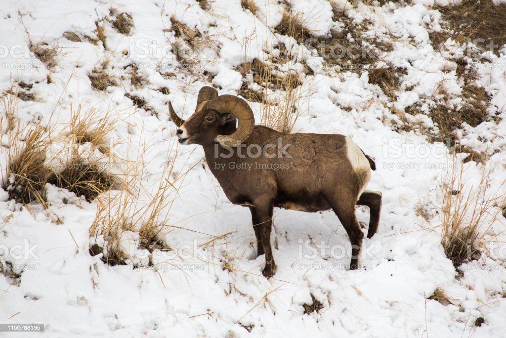 Bighorn grazing, Yellowstone - Royalty-free Bighorn Sheep Stock Photo