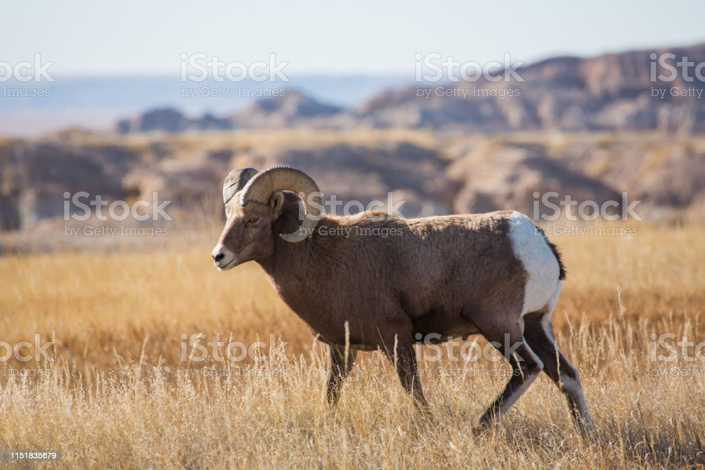 Bighorn in the Badlands - Royalty-free Animal Stock Photo