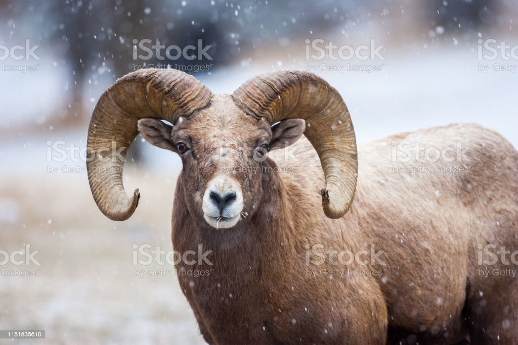 Bighorn in the snow - Royalty-free Animal Stock Photo