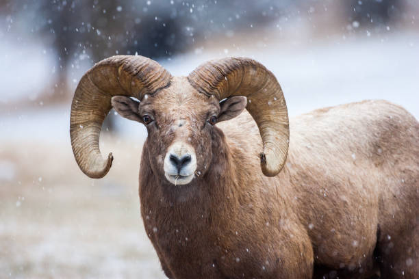 Bighorn in the snow stock photo