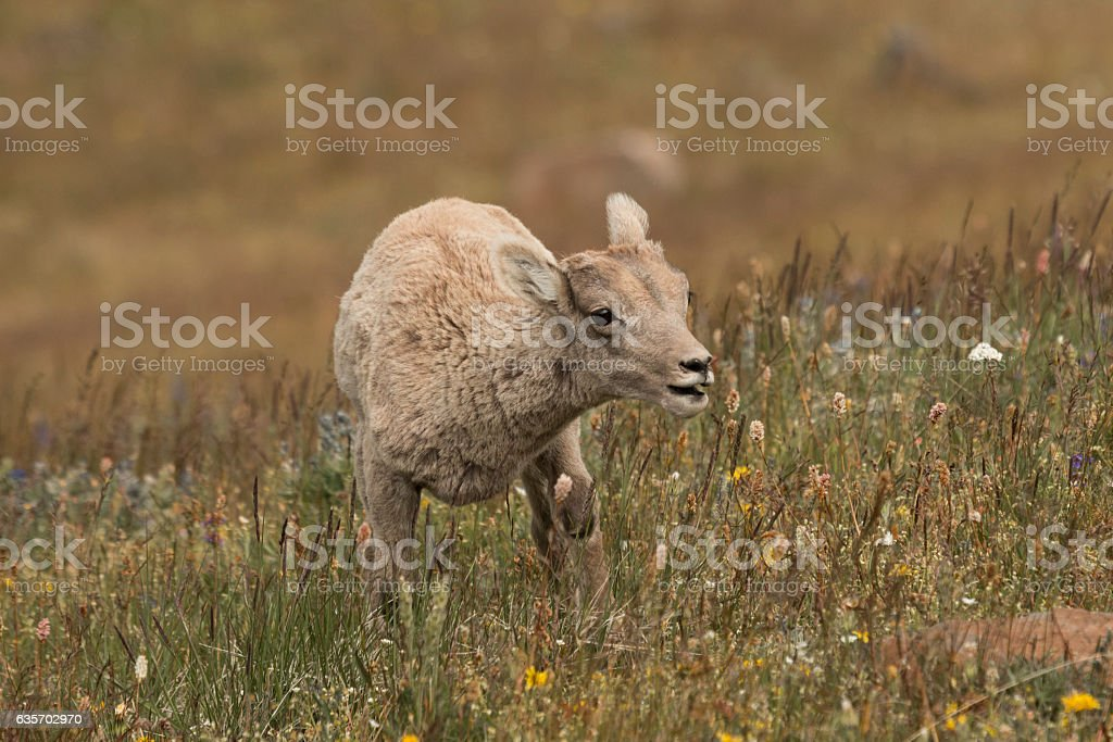 Bighorn Lamb on Mt. Washburn in Yellowstone National Park. royalty-free stock photo