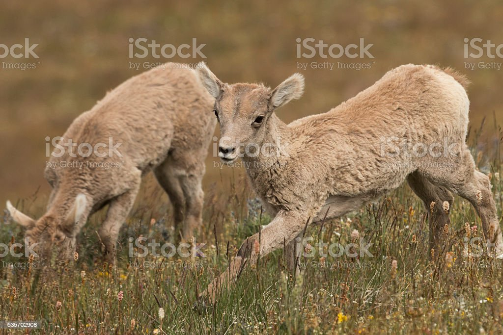 Bighorn Lambs on Mt. Washburn in Yellowstone National Park. royalty-free stock photo