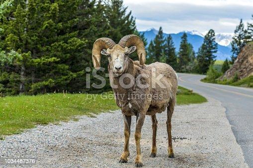 A bighorn sheep ram standing at side of Lake Minnewanka Scenic Drive, Banff National Park, Alberta, Canada.