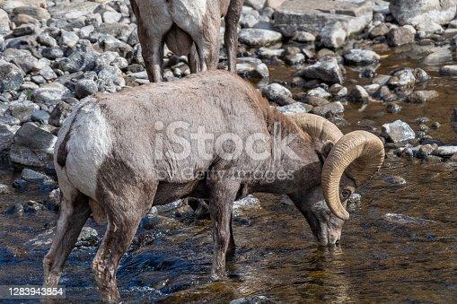 Bighorn ram crossing river