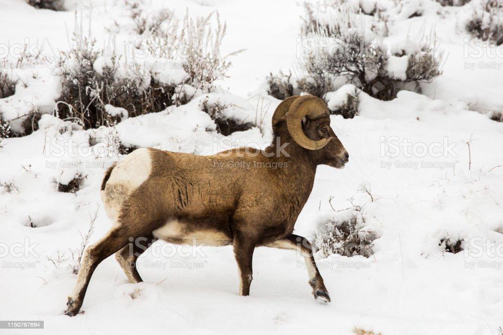 Bighorn ram in Yellowstone - Royalty-free Bighorn Sheep Stock Photo
