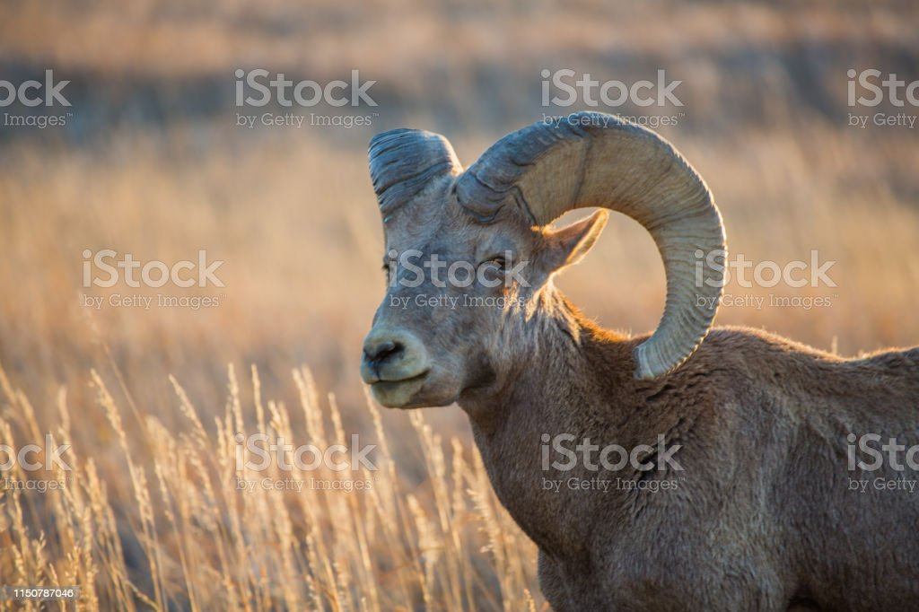 Bighorn Ram - Royalty-free Badlands National Park Stock Photo
