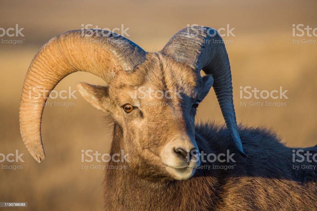 Bighorn Ram - Royalty-free Badlands National Park Stock Photo